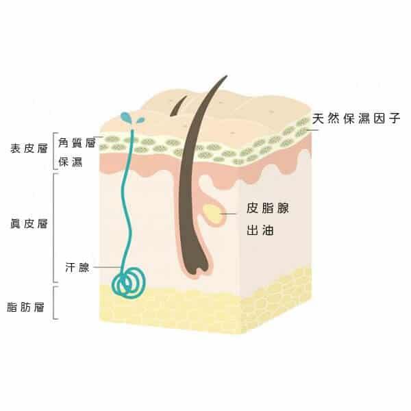 肌膚基本構造圖